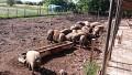 Porci mangalita crescuti natural