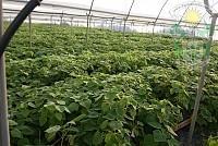 Paulownia hybrid la ghiveci