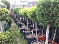 Plante ornamentale, arbori, arbusti, conifere