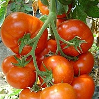 Seminte de tomate Belfast F1