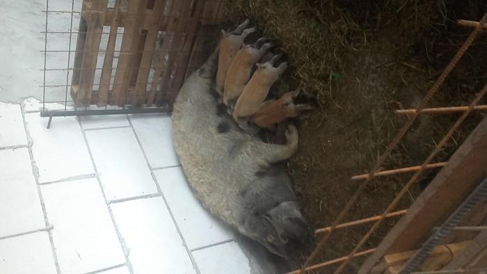Ferma de porci mangalita crescuti natural