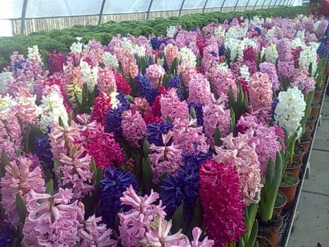 Flori la ghiveci pentru 1 Martie direct producator