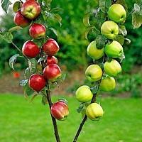 altoiri pomi fructiferi