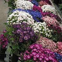 flori anuale